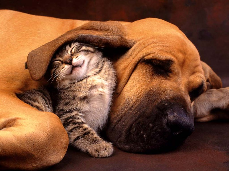 Big dog and kitten